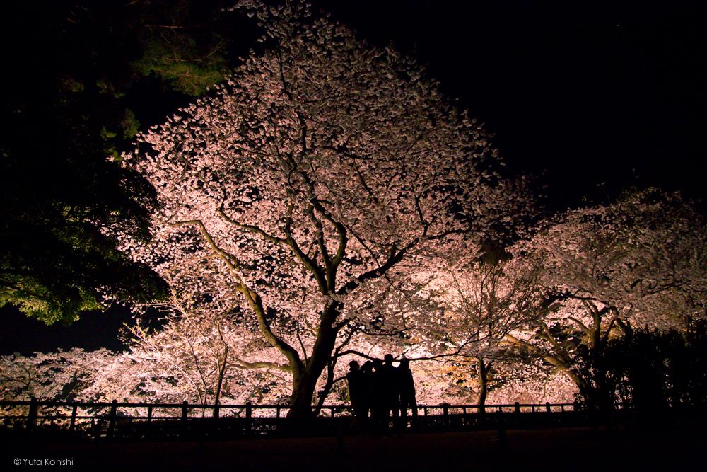 兼六園・金沢城址の夜桜ライトアップ無料公開 (2014年春)